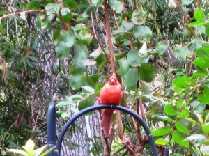 fat papa cardinal is at his post again